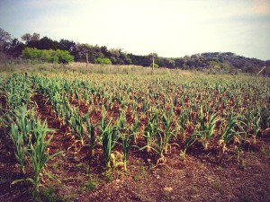 garlic crop field photo